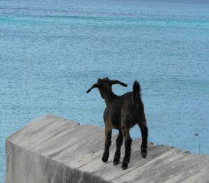 Benefits of Goat Milk vs  Cow Milk | Mt  Capra