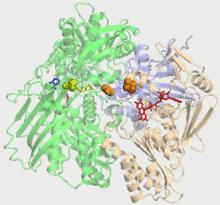 Xanthine Oxidase