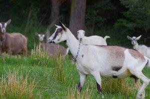 Free range goats