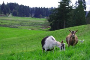 High Quality goat milk comes from happy free range goats
