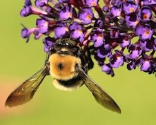 Acute Inflammation from bee sting