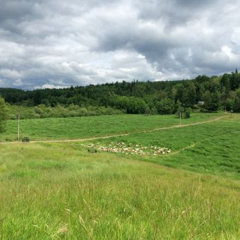 pastured goats - managed intensive grazing