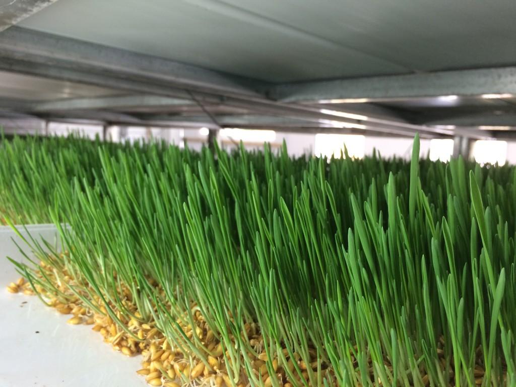 close up of barley fodder