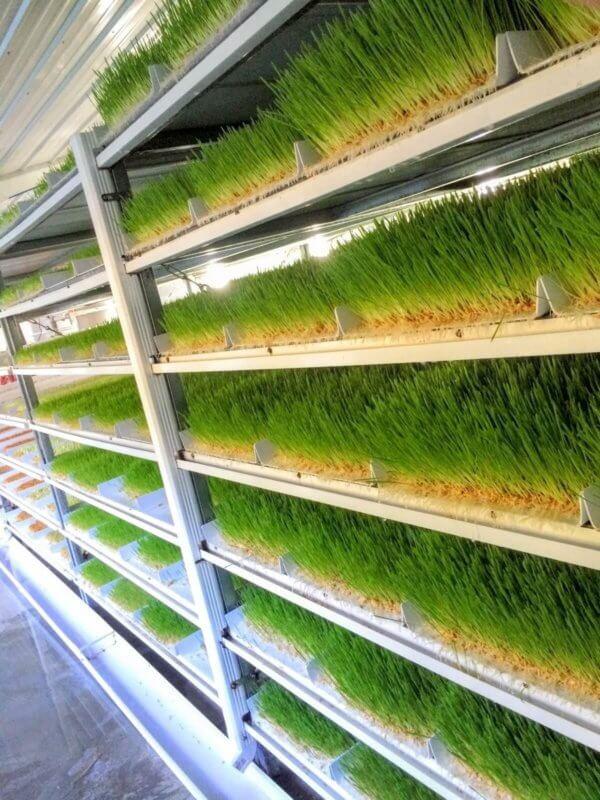 organic, non-gmo barley fodder sprouts