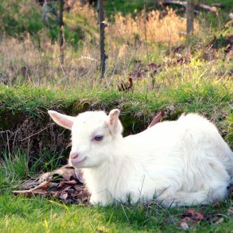 immune health with goat milk products