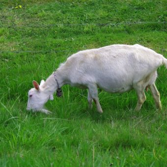 grass farming with goat milk grass fed pasture organic